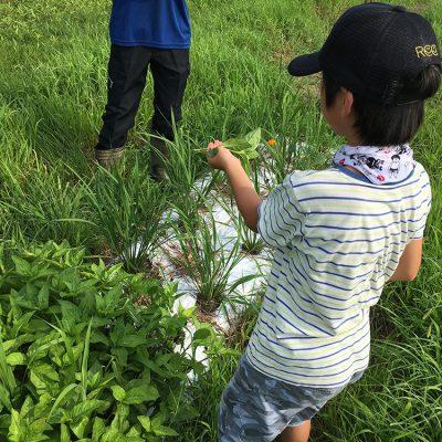 夏休みの畑活動
